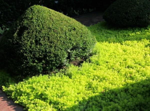 Il Mirto, in particolare il Myrtus tarentina, è un piccolo arbusto dal fogliame variegato e intensamente profumato, caratterizzato da una crescita lenta e compatta e da un aspetto denso e tondeggiante
