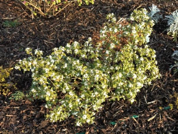 Il Osmanthus x burkwoodii è ideale per formare siepi e topiarie, ma può anche essere coltivato anche in vaso