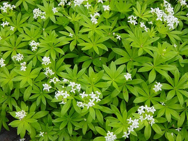 Il Galium odoratum, comunemente detto stellina odorosa o asperula, è un'erba molto comune in montagna e rappresenta un'ottima scelta come copertura
