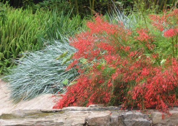 La Russelia equisetiformis è una pianta adatta ai climi caldi, tollera bene la siccità e attrae le farfalle e gli insetti benefici