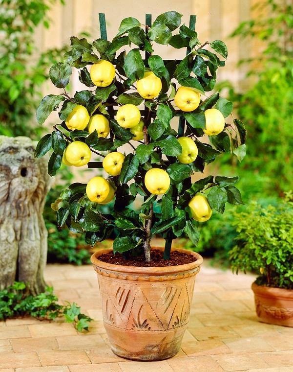 Come coltivare un melo in vaso | Guida Giardino