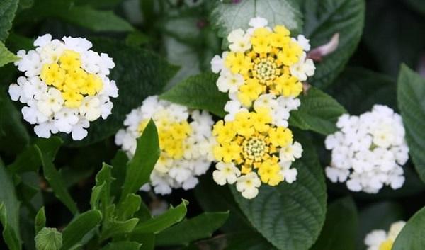 La Lantana è una specie originaria delle zone tropicali dell'America e dell'Africa, ma cresce spontanea anche in Sicilia e Sardegna