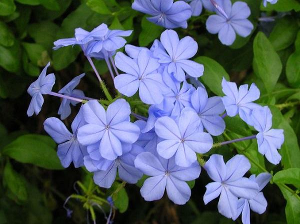 10 magnifici fiori da coltivare in pieno sole guida giardino for Pianta rampicante con fiori viola a grappolo