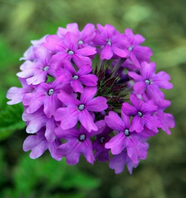 Ci sono oltre 250 specie di Verbena che possono essere coltivate in molti climi diversi anche in pieno sole