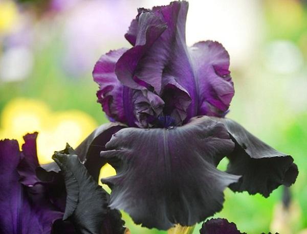 """Il Giglio """"Before the Storm"""" è un fiore leggermente profumato e quasi nero, che necessita una posizione soleggiata e un terreno ben drenato"""