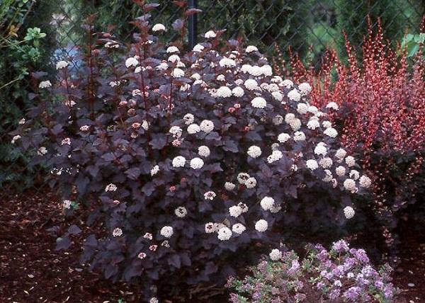 """Il Physocarpus opulifolius """"Diablo"""" è un arbusto versatile e attraente, con piccoli fiori bianchi e foglie di colore bordeaux scuro che sembrano totalmente nere se in ombra o al crepuscolo"""