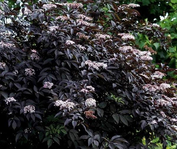 Esiste anche una varietà di sambuco che presenta foglie di colore viola-nero, fiori rosa e frutti commestibili e succosi