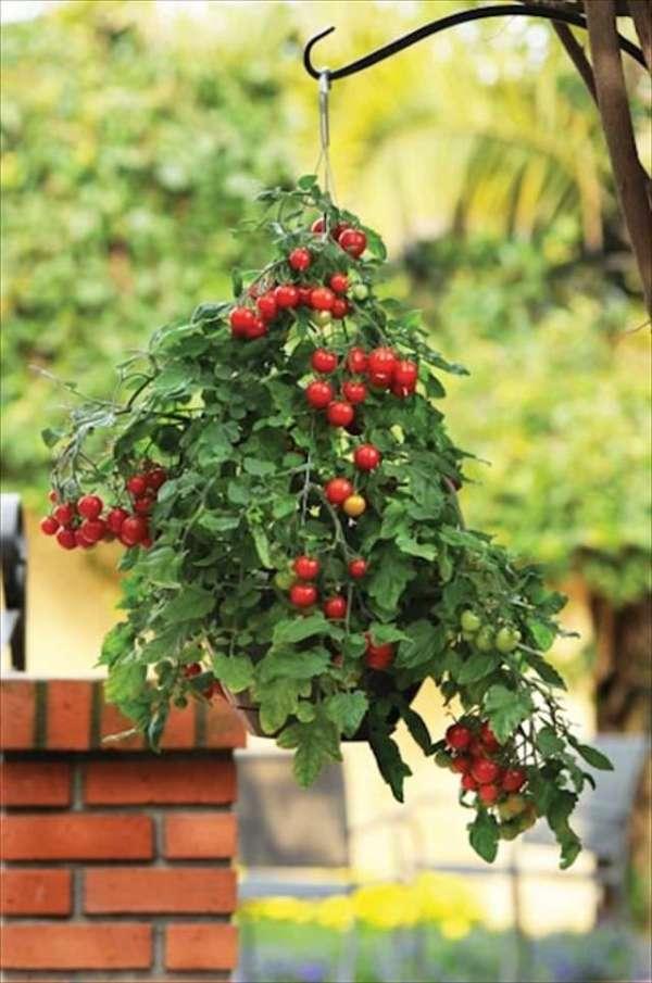 las-mejores-plantas-para-cestas-colgantes-03