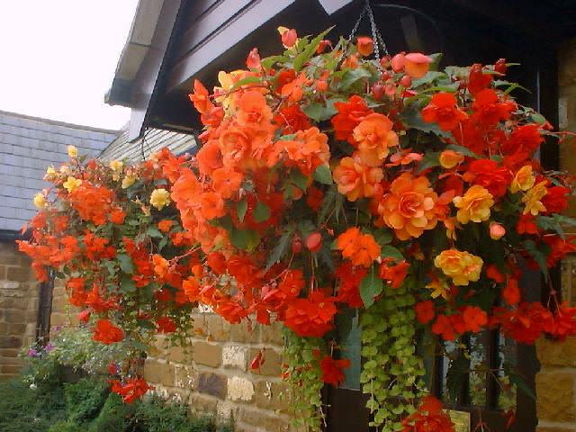Le Begonie crescono molto bene in ombra, e possono quindi rappresentare un ottima scelta per i vasi appesi in veranda o sotto al gazebo