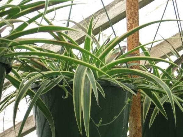 las-mejores-plantas-para-cestas-colgantes-06