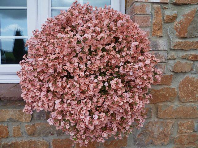 La Diascia, o Regina rosa, è una pianta perenne di breve durata per cui è di solito coltivata come annuale
