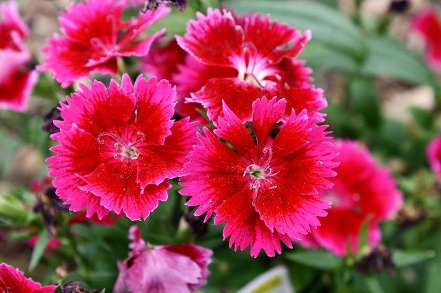fiori di garofano