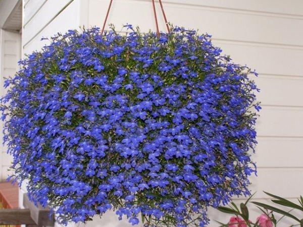 las-mejores-plantas-para-cestas-colgantes-15