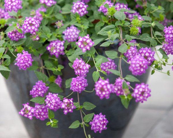 las-mejores-plantas-para-cestas-colgantes-17
