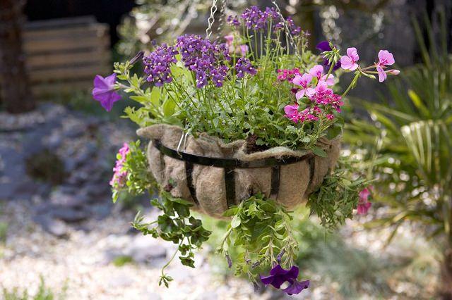 La Nemesia è molto facile da coltivare, è una pianta perenne e molto resistente