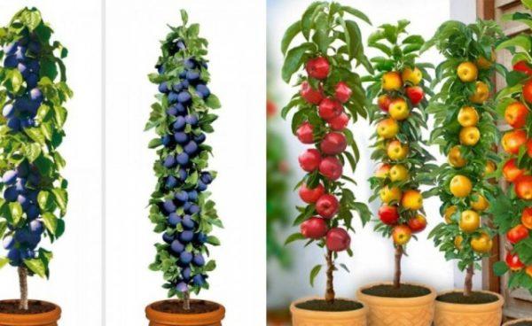 Alberi da frutto colonnari decorativi e perfetti per for Piante da frutto vaso
