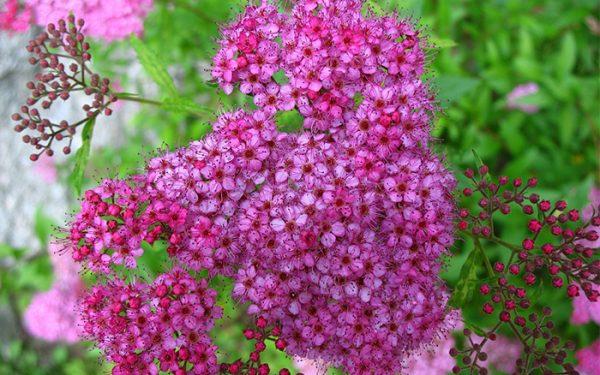Spiraea giapponese è un arbusto deciduo che raggiunge un'altezza di circa 150 cm