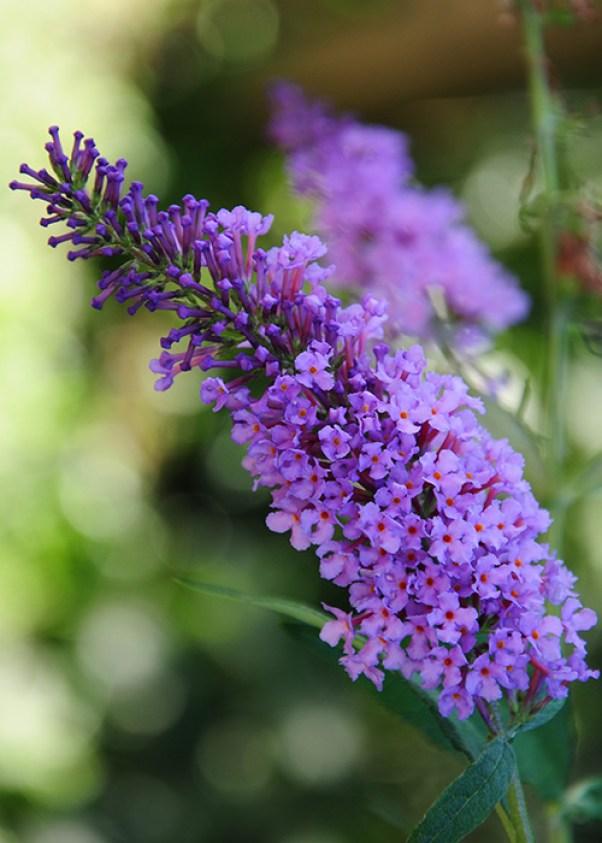 La Buddleja davidii è un arbusto caducifoglio molto facile da coltivare; questa pianta è molto apprezzata come specie decorativa per via della sua copiosa e vistosa fioritura.