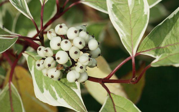 il corniolo è un arbusto o piccolo albero in grado di crescere sino a 5 metri di altezza; i rami sono di colore rosso-bruno e le foglie verdi