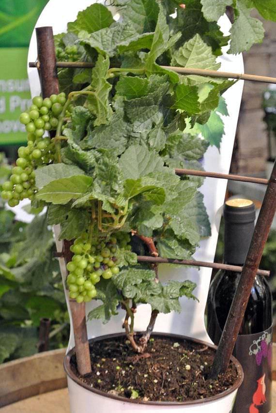 Come coltivare la vite in vaso guida giardino - Coltivare uva da tavola in vaso ...