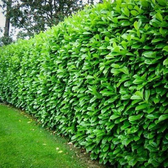 Il lauroceraso, Prunus laurocerasus, è un arbusto sempreverde perfetto per realizzare una siepe lussureggiante e compatta