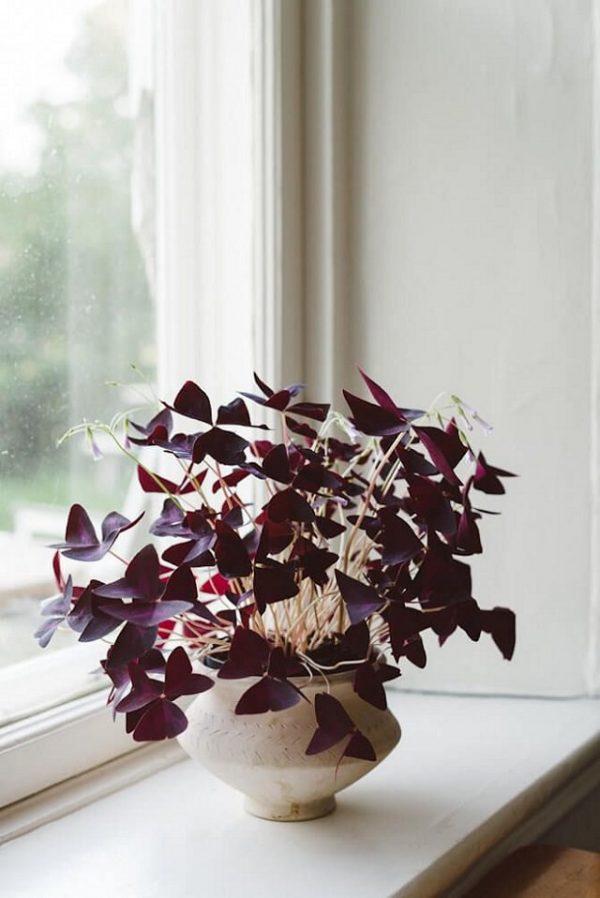 Ossalide triangolare, o Oxalis triangularis, una meravigliosa pianta erbacea perenne originaria del Brasile che si distingue per la forma triangolare del fogliame e per la sua intensa colorazione