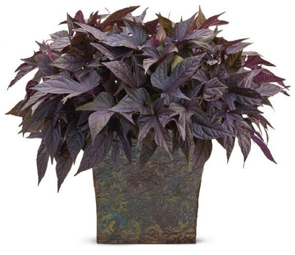 """Una varietà di Ipomoea, la """"Sweet Caroline Purple"""", ha tonalità davvero spettacolari, una crescita compatta e una ottima resistenza"""