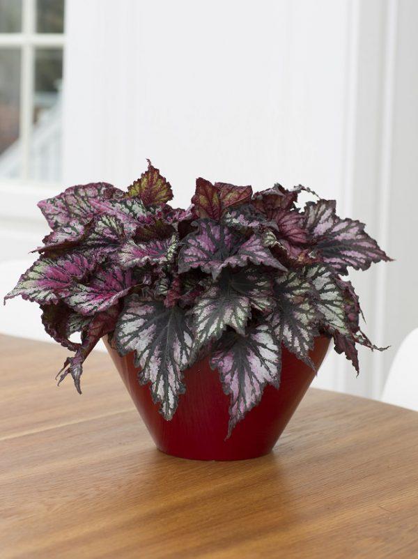 La Begonia rex è una pianta d'appartamento molto apprezzata per via del suo fogliame