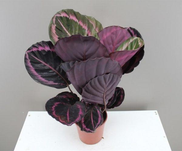La Calathea è una pianta che può decorare ogni ambiente con le sue maestose foglie verdi e viola