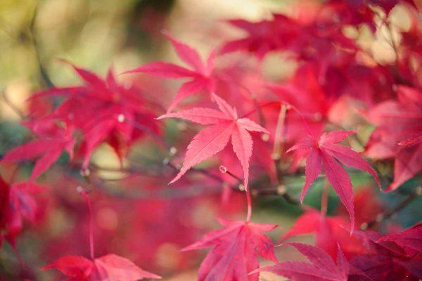 L'acero rosso, acer palmatum, chiamato anche acero giapponese, è una pianta tipica del giardino zen