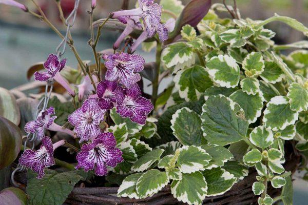 la Tradescantia Zebrina, una bellissima pianta d'appartamento ornamentale, una varietà del genere Plectranthus e la Streptocarpus, o Primula del Capo, un grazioso fiore dalle tonalità del viola