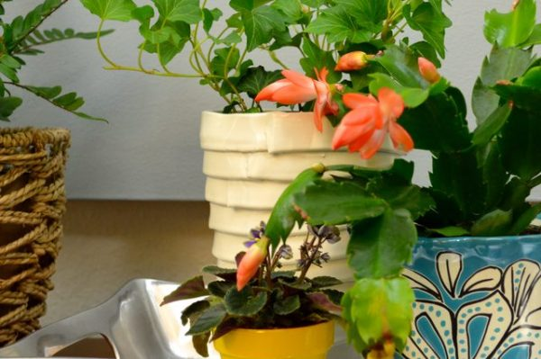 Il cosiddetto cactus di Natale è una meravigliosa piante succulenta di origine brasiliana che appartiene al genere Schlumbergera, chiamato anche Ephiphyllum