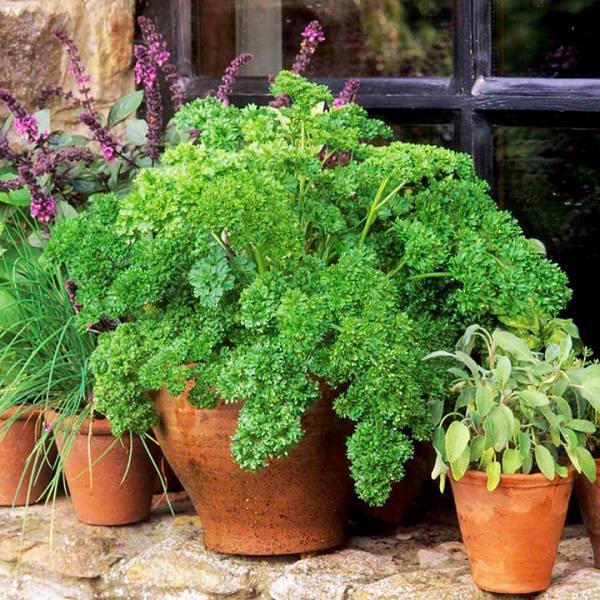 Se si coltiva il prezzemolo in un luogo freddo il vaso andrà posizionato in un luogo soleggiato o solo parzialmente ombreggiato
