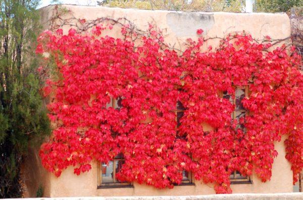 La Parthenocissus tricuspidata, appartenente alla famiglia delle Vitaceae, è una pianta rampicante originaria della Cina