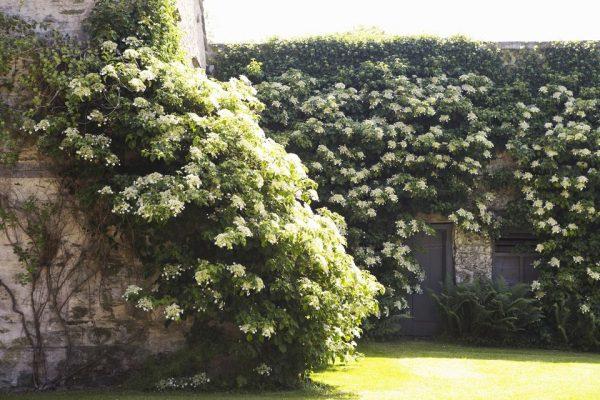 L'ortensia rampicante, Hydrangea petiolaris, è un grande arbusto rampicante che può raggiungere un'altezza davvero elevata