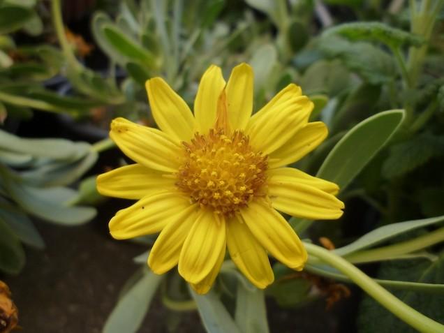 Othonnopsis cheirifolia: è originaria dell'Algeria e della Tunisia ed è molto utilizzata per la realizzazione di aiuole e bordature perché produce piccole foglie che formano una densa copertura