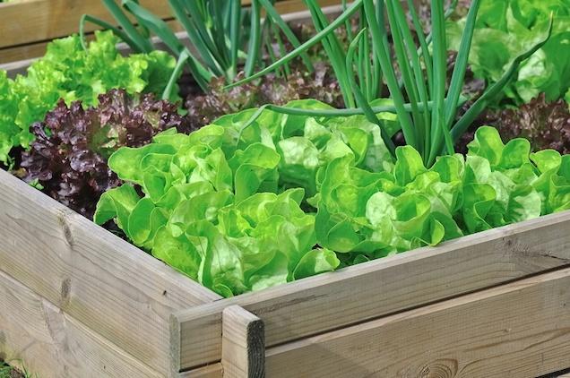 coltivazione in letti rialzati per gli ortaggi