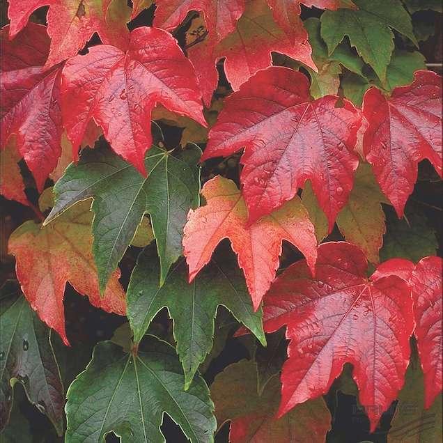 La parthenocissus tricuspidata è una specie rampicante caratterizzata da foglie a tre punte, palmate e lisce, che sono verdi in estate e assumono magnifiche colorazioni che vanno dal rosso intenso al marrone in autunno
