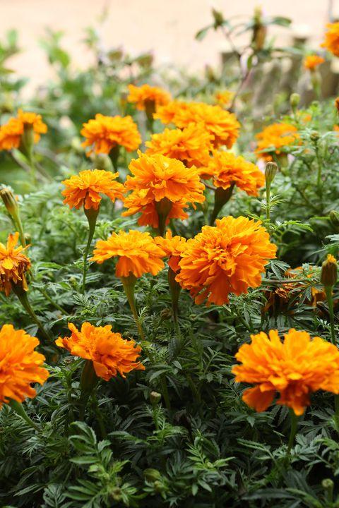 las mejores 15 flores anuales para