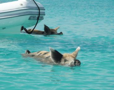 Los cerdos nadadores de Pig Island, Bahamas