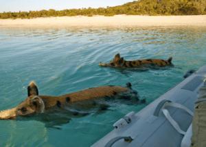 Los cerdos nadadores de Pig Island, Bahamas - Sin-título2-300x215