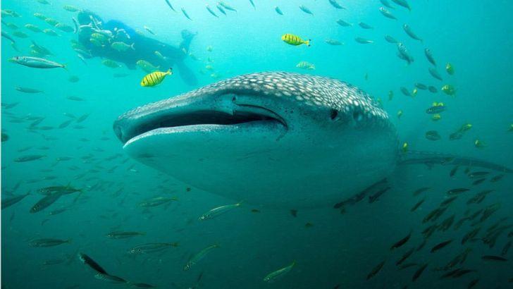 Bucear junto al tiburón ballena