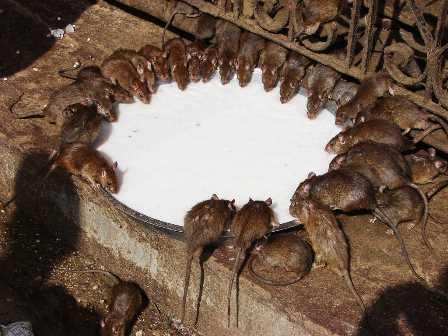El templo de las ratas del Rajasthán
