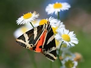 Valle de las Mariposas (Turquía) - Jersey-Tiger-300x225