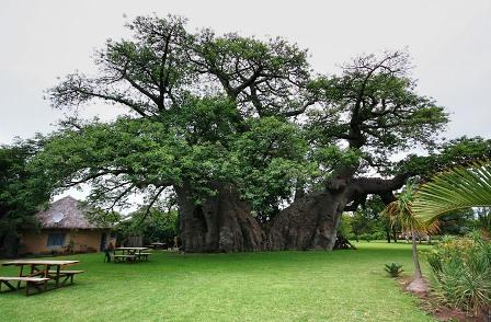 Sunland Baobab, el árbol Pub.