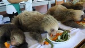 Sloth Sanctuary y los perezosos - maxresdefault-300x169