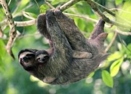 Sloth Sanctuary y los perezosos - perezoso-con-su-cria-300x217