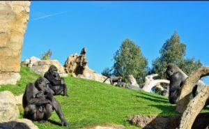 Bioparc: vacaciones con niños - Gorilas-300x185