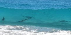 7 playas llenas de tiburones - Smyrna-shark-beaches-in-florida-300x151