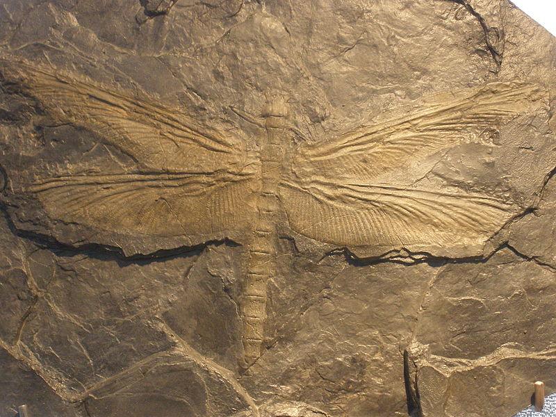 Museo Minas Serchs - Meganeura o libélula gigante, que habitaban los bosques del carbonífero (6)
